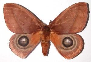 (Automeris postalbidaDHJ04 - 02-SRNP-35115)  @14 [ ] CreativeCommons - Attribution Non-Commercial Share-Alike (2003) Daniel H. Janzen Guanacaste Dry Forest Conservation Fund