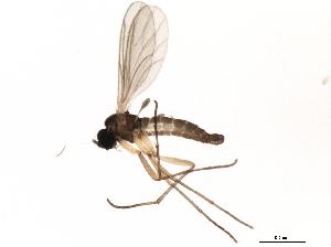 (Corynoptera melanochaeta - 10JSROW-1722)  @14 [ ] CC-0 (2011) CBG Photography Group Centre for Biodiversity Genomics