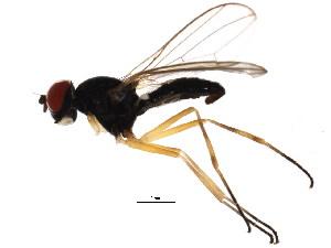 (Tanypeza longimana - BIOUG00965-G12)  @14 [ ] CC-0 (2011) CBG Photography Group Centre for Biodiversity Genomics