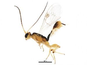 (Mesochorinae - BIOUG01252-A06)  @15 [ ] CC-0 (2011) CBG Photography Group Centre for Biodiversity Genomics