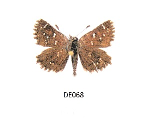 (Alenia - KBGPB21)  @11 [ ] by-nc-sa (2017) Unspecified he Lepidopterists Society of Africa