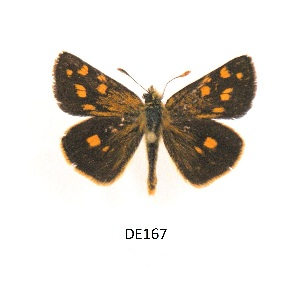 (Metisella malgacha - KBGPB65)  @11 [ ] by-nc-sa (2017) Unspecified he Lepidopterists Society of Africa