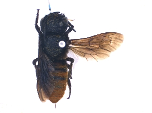 (Megachile rufiventris - KBGPE93)  @11 [ ] by-nc-sa (2018) Unspecified Agriculatural Research Council