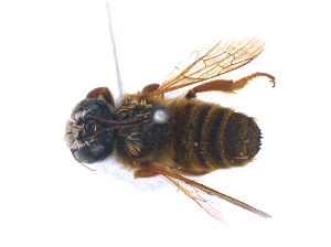 (Megachile fulva - KBGPE97)  @11 [ ] CreativeCommons - Attribution Non-Commercial Share-Alike (2018) Unspecified Agriculatural Research Council