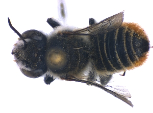 (Megachile chrysopogon - KBGPE91)  @11 [ ] by-nc-sa (2018) Unspecified Agriculatural Research Council