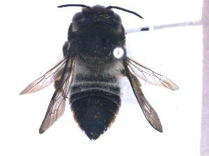 (Megachile curtula - KBGPE92)  @11 [ ] CreativeCommons - Attribution Non-Commercial Share-Alike (2018) Unspecified Agriculatural Research Council