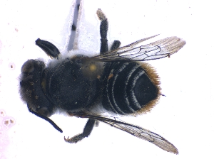 (Megachile venusta - KBGPE102)  @11 [ ] CreativeCommons - Attribution Non-Commercial Share-Alike (2018) Unspecified Agriculatural Research Council