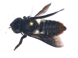 (Megachile nasalis - KBGPE167)  @11 [ ] CreativeCommons - Attribution Non-Commercial Share-Alike (2018) Unspecified Agriculatural Research Council