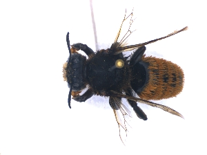 (Megachile bombiformis - KBGPE164)  @11 [ ] CreativeCommons - Attribution Non-Commercial Share-Alike (2018) Unspecified Agriculatural Research Council