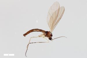 (Leptosciarella fuscipalpa - ZFMK-TIS-14892)  @14 [ ] Copyright (2014) Unspecified Zoologisches Forschungsmuseum Alexander Koenig