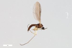 (Leptosciarella cerifera - ZFMK-TIS-2513132)  @13 [ ] Copyright (2014) Unspecified Zoologisches Forschungsmuseum Alexander Koenig