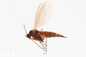 (Leptosciarella sp. BOLD:ACM3281 - ZFMK-TIS-2513599)  @14 [ ] Copyright (2013) Unspecified Zoologisches Forschungsmuseum Alexander Koenig