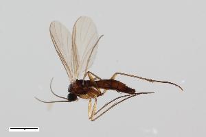 (Leptosciarella andreae - ZFMK-TIS-2520518)  @14 [ ] Copyright (2014) Unspecified Zoologisches Forschungsmuseum Alexander Koenig