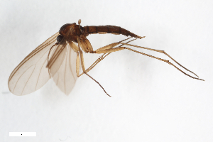 (Leptosciarella cavernarum - ZFMK-TIS-2520523)  @14 [ ] Copyright (2014) Unspecified Zoologisches Forschungsmuseum Alexander Koenig