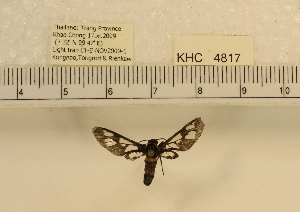 (Auriculoceryx transitiva - YB-KHC4817)  @12 [ ] No Rights Reserved  Unspecified Unspecified