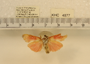 (Cyana sp. 1MKC - YB-KHC4877)  @13 [ ] No Rights Reserved  Unspecified Unspecified