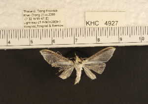 (Cydalima sp. 2MKC - YB-KHC4927)  @12 [ ] No Rights Reserved  Unspecified Unspecified