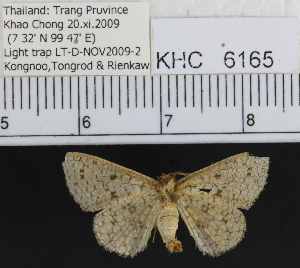 (Geometridae_incertae_sedis - YB-KHC6165)  @13 [ ] No Rights Reserved  Unspecified Unspecified
