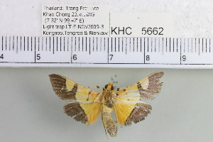 (Aethaloessa sp. 1MKC - YB-KHC5662)  @12 [ ] No Rights Reserved  Unspecified Unspecified