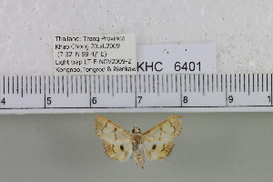 (Pleuroptya sp. 1MKC - YB-KHC6401)  @12 [ ] No Rights Reserved  Unspecified Unspecified
