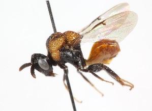 (Perilampidae - 19698AperA10)  @14 [ ] Copyright (2013) RS Copeland Unspecified
