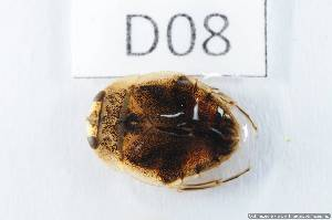 (Naucoridae - 14408-LaccD08)  @13 [ ] Copyright (2012) Fabian Haas icipe