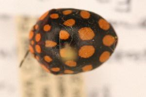 (Scutellarinae - FZ 1102)  @11 [ ] Copyright (2011) NMK National Museums of Kenya