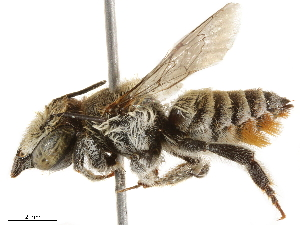 (Megachile cyanescens - BIOUG43498-F12)  @14 [ ] CreativeCommons - Attribution Non-Commercial Share-Alike (2019) CBG Photography Group Centre for Biodiversity Genomics