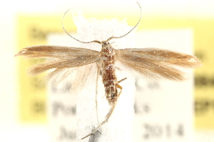 (Coleophora cretaticostella - BIOUG20646-E03)  @15 [ ] CreativeCommons - Attribution Non-Commercial Share-Alike (2015) CBG Photography Group Centre for Biodiversity Genomics