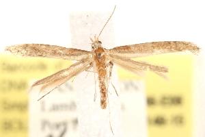 (Caloptilia paradoxa - BIOUG20646-E06)  @15 [ ] CreativeCommons - Attribution Non-Commercial Share-Alike (2015) CBG Photography Group Centre for Biodiversity Genomics