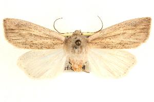 (Leucania amygdalina - BIOUG21233-E09)  @15 [ ] CreativeCommons - Attribution Non-Commercial Share-Alike (2015) CBG Photography Group Centre for Biodiversity Genomics