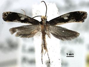 (Monopis dorsistrigella - BIOUG30799-C01)  @15 [ ] CreativeCommons - Attribution Non-Commercial Share-Alike (2016) CBG Photography Group Centre for Biodiversity Genomics