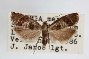 (Epinotia gimmerthaliana - KS0076)  @14 [ ] Unspecified (default): All Rights Reserved  Unspecified Unspecified