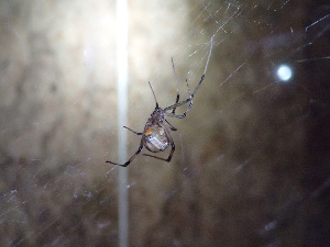 (Theridiidae - LP10)  @16 [ ] Unspecified (default): All Rights Reserved  Unspecified Unspecified