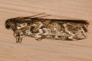 ( - AVBC 1058-11)  @12 [ ] CC-0 (2011) CBG Photography Group Centre for Biodiversity Genomics