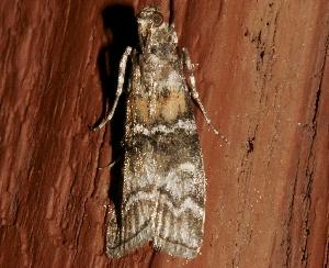 ( - AVBC 1285-11)  @12 [ ] CC-0 (2012) CBG Photography Group Centre for Biodiversity Genomics