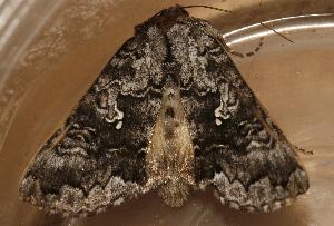 (Syngrapha celsa - AVBC 1300-11)  @13 [ ] CC-0 (2012) CBG Photography Group Centre for Biodiversity Genomics