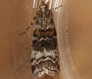 ( - AVBC 1313-11)  @12 [ ] CC-0 (2012) CBG Photography Group Centre for Biodiversity Genomics