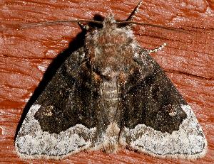 ( - AVBC 666-10)  @13 [ ] CC-0 (2010) CBG Photography Group Centre for Biodiversity Genomics