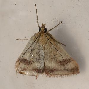 (Pyrausta semirubralis - AVBC 956-11)  @13 [ ] CC-0 (2011) CBG Photography Group Centre for Biodiversity Genomics