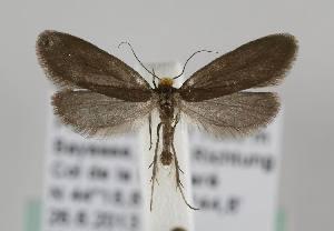 (Lampronia pubicornis - TLMF Lep 14693)  @14 [ ] CreativeCommons - Attribution Non-Commercial Share-Alike (2014) Peter Huemer Tiroler Landesmuseum Ferdinandeum