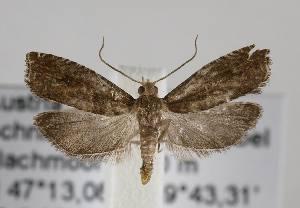 (Epinotia tenerana - TLMF Lep 14707)  @14 [ ] CreativeCommons - Attribution Non-Commercial Share-Alike (2014) Peter Huemer Tiroler Landesmuseum Ferdinandeum