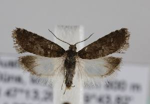 (Epinotia pygmaeana - TLMF Lep 14717)  @14 [ ] CreativeCommons - Attribution Non-Commercial Share-Alike (2014) Peter Huemer Tiroler Landesmuseum Ferdinandeum