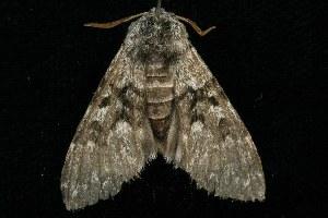 (Panthea virginarius - HLC-20763)  @14 [ ] CC-0 (2010) CBG Photography Group Centre for Biodiversity Genomics