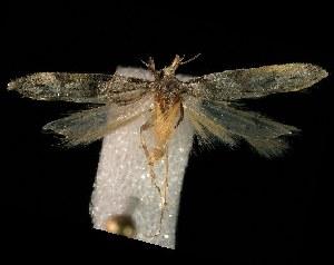 (Coleotechnites atrupictella - HLC-23873)  @14 [ ] CreativeCommons - Attribution Non-Commercial Share-Alike (2010) CBG Photography Group Centre for Biodiversity Genomics