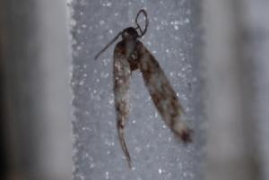 (Elachista sp. 02MM - 08-JDWBC-0094)  @12 [ ] CreativeCommons - Attribution (2010) Jeremy deWaard University of British Columbia