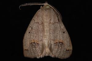 (Drepanulatrix unicalcararia - 08-JDWBC-1082)  @15 [ ] CreativeCommons - Attribution (2010) Jeremy deWaard University of British Columbia