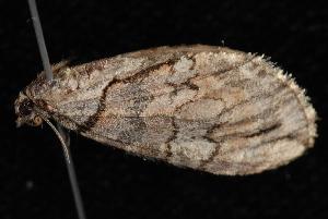 (Hydriomena exculpata - 08-JDWBC-2406)  @15 [ ] CreativeCommons - Attribution (2010) Jeremy deWaard University of British Columbia