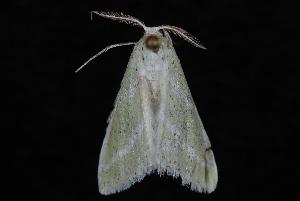 (Synchlora bistriaria - 10-JDWBC-6662)  @15 [ ] CreativeCommons - Attribution (2010) Jeremy deWaard University of British Columbia