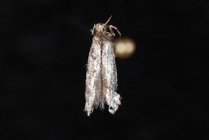 (Coleotechnites sp. 3 - 10-JDWBC-0638)  @12 [ ] CreativeCommons - Attribution (2010) Jeremy deWaard University of British Columbia